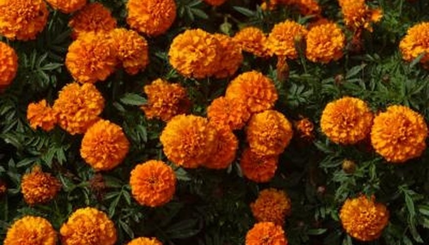 Marigolds quickly fill up a flower box.