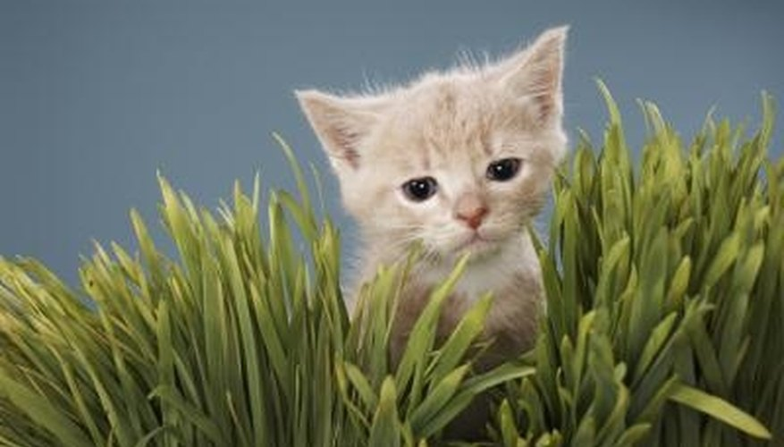 Offer your cat a non-toxic grass.