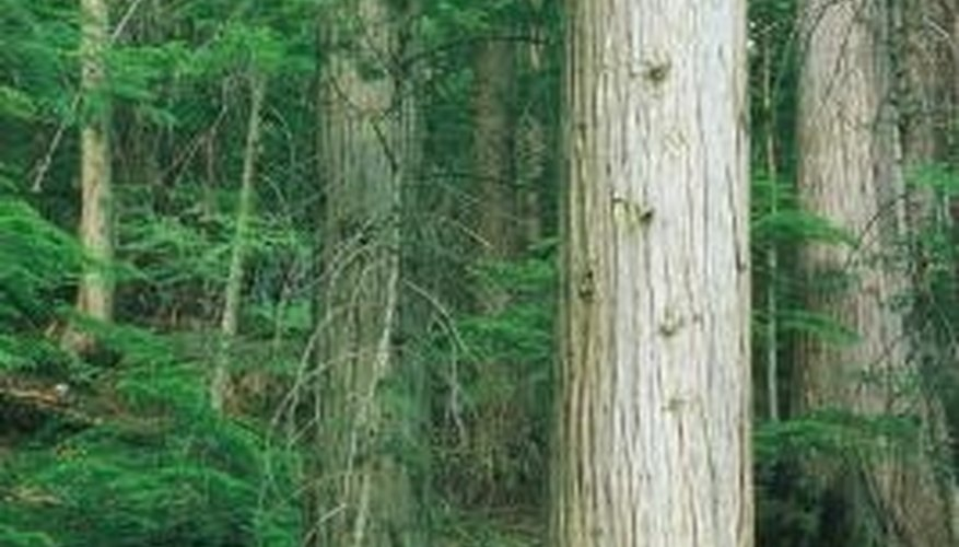 Cedar trees are often infested with cedar bark beetles.