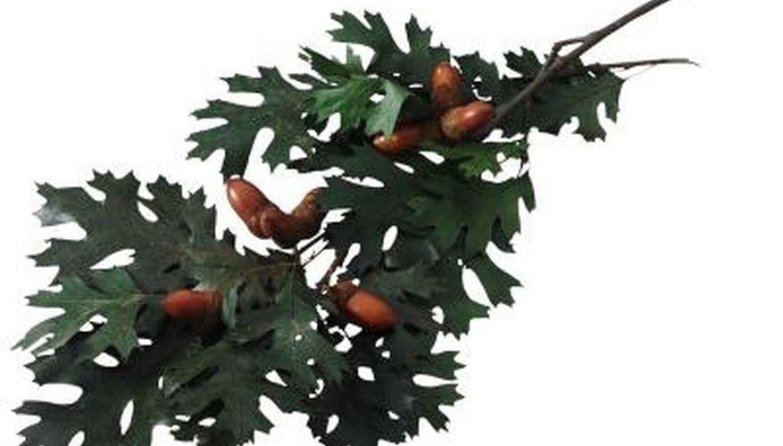 All species of oak are susceptible to disorders that yellow their leaves.