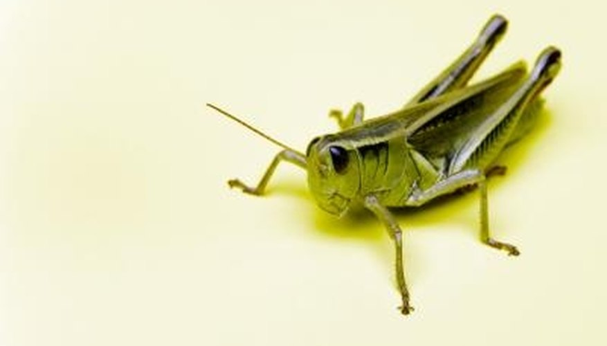 Grasshoppers feed on roses in midsummer.