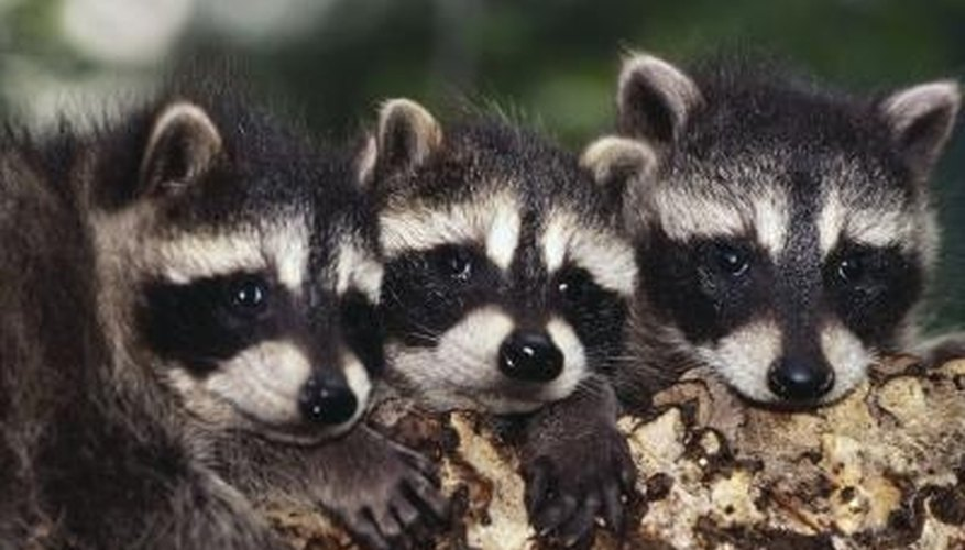 Raccoons seek out warm, dark spaces to have their young.