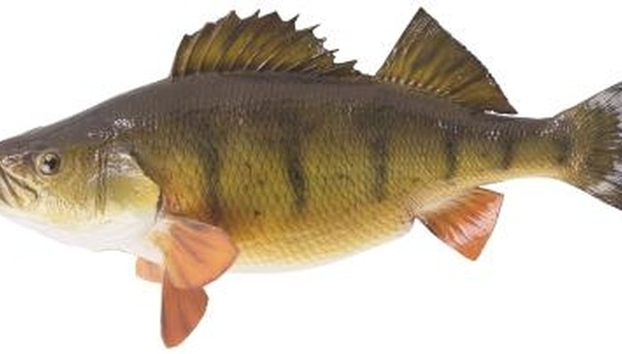 The yellow perch is a member of the Percidae family.