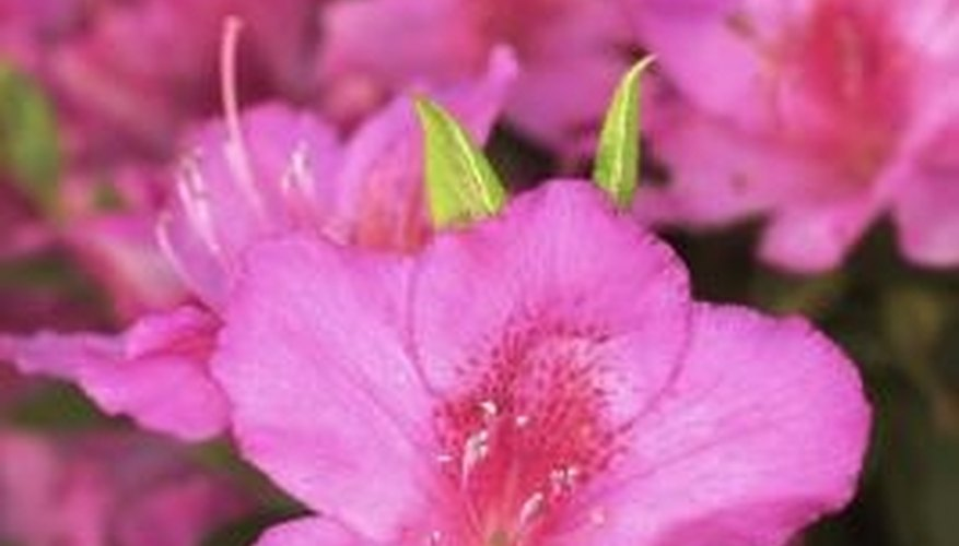 Many sun-loving azaleas belong to the Southern Indica strain.