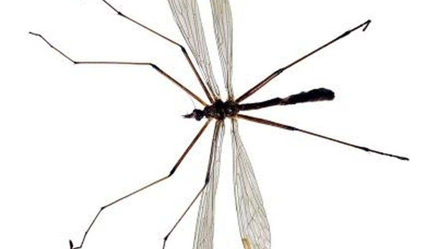 The adult crane fly does not damage grass or plants.