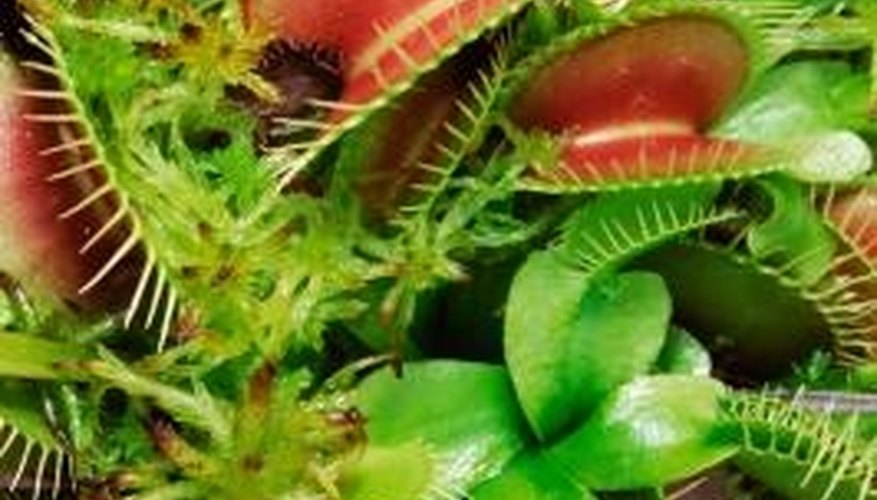 The leaves of a Venus flytrap plant are sensitive to touch, and close when an insect lands on them.