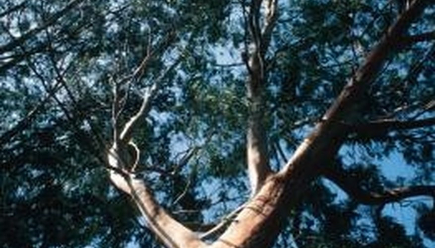 Eucalyptus lumber varies by species.