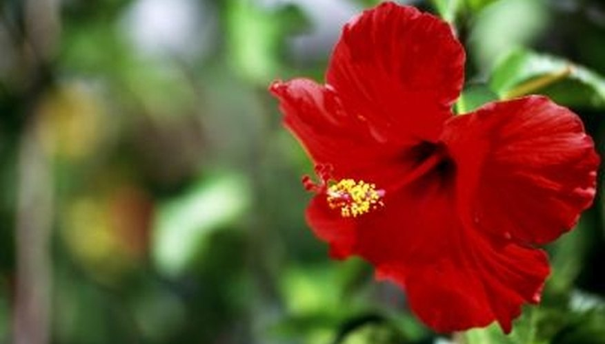 Hibiscus are colorful, warm weather flowers.