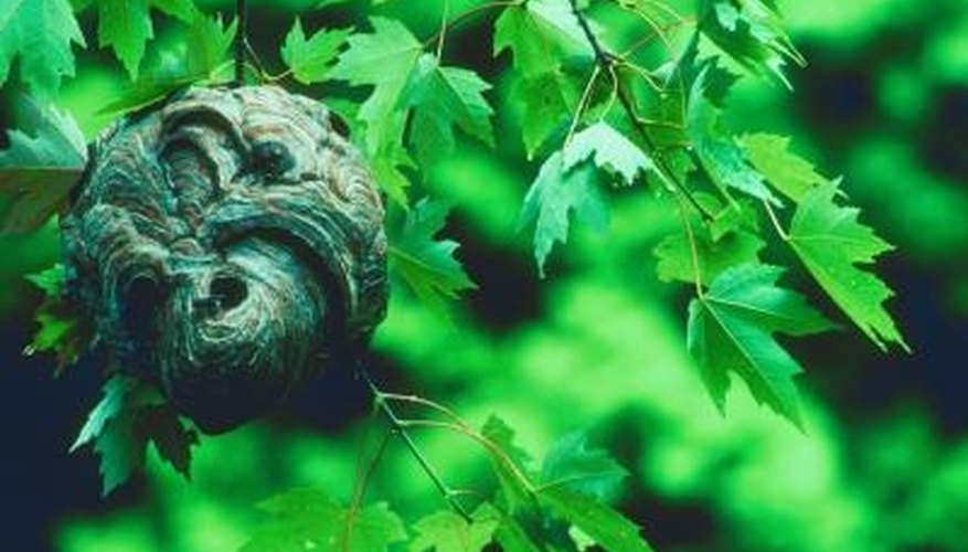 A hornet's nest can make an ideal accent for your home.