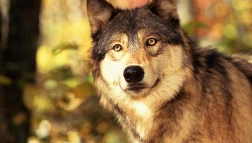 How to Scare Away a Wolf