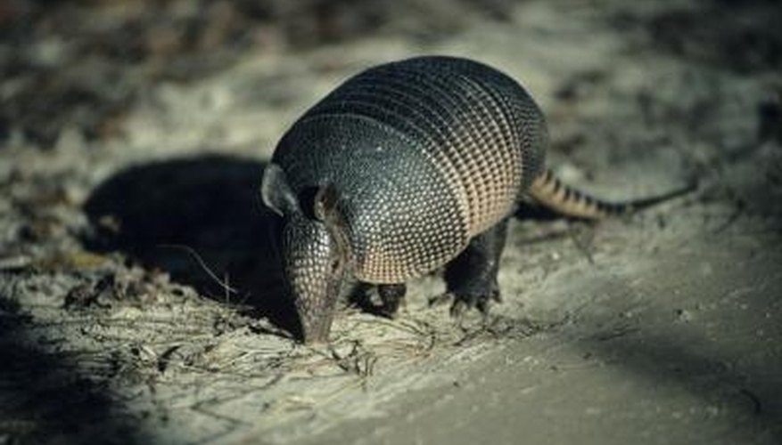 How to Clean Armadillos