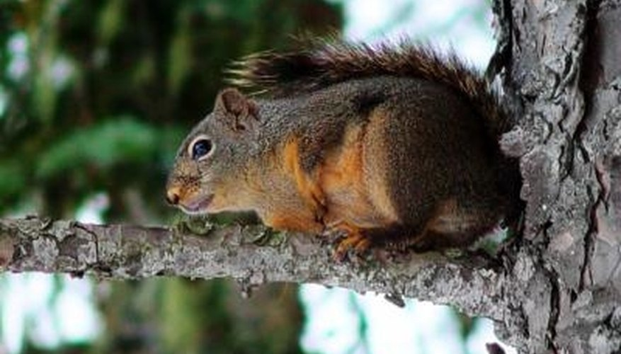 Squirrels can cause extensive damage to your home.