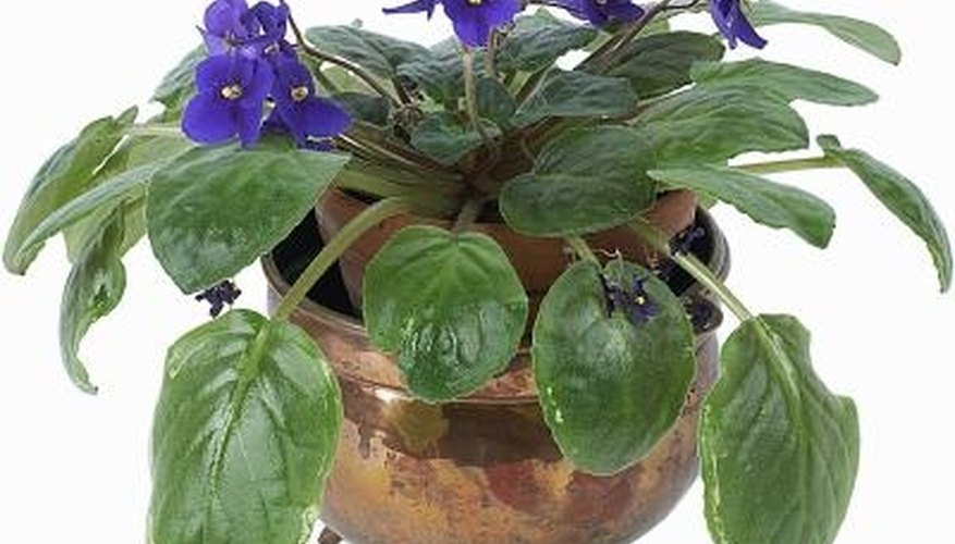 Shiny leaves add to this African violet's appeal.