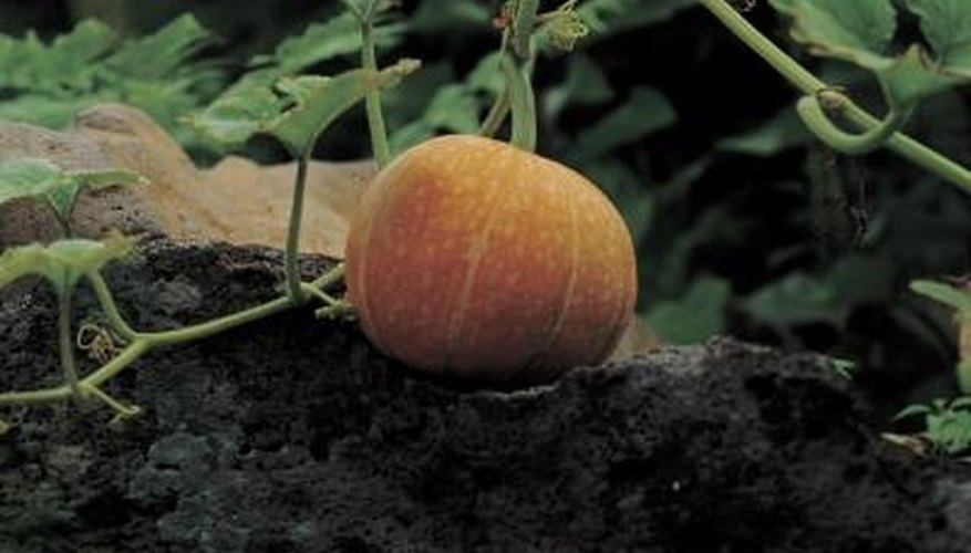 Avoid spraying water-stressed pumpkin plants with insecticidal soap.