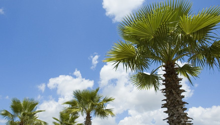 California fan palms are the only palm tree native to western North America.