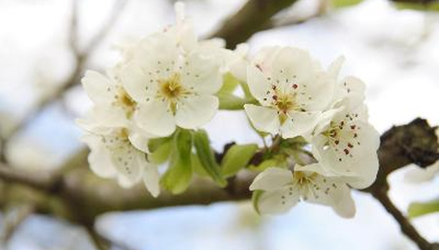 Sweet and sour cherry blossoms are most often white in color.