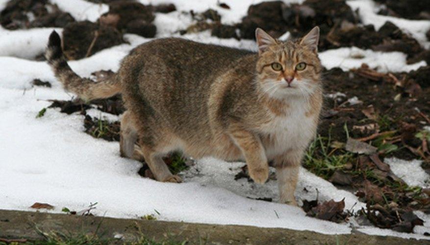 A feral cat.