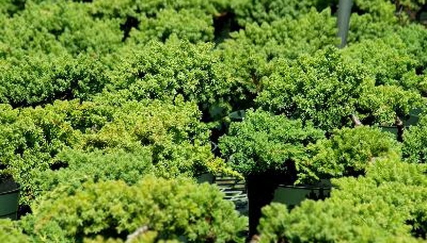 Low-growing junipers stay green year round.