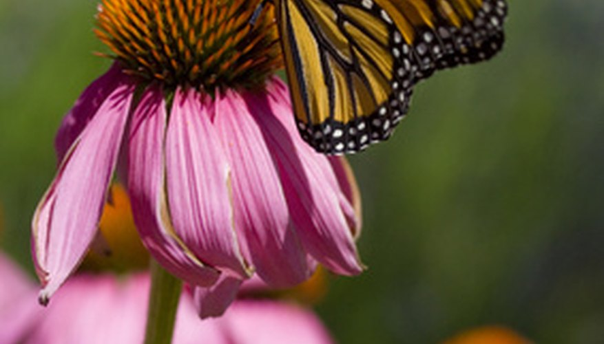 Butterflies love coneflowers.