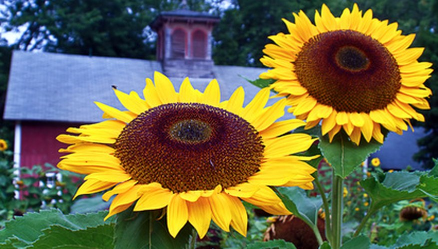 Sunflowers are heliotropes. They follow the sun on its path across the sky.