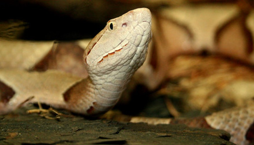 Copperheads are the most common venomous snake in Indiana.