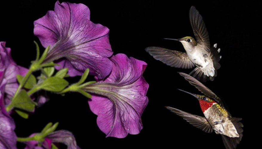 Hummingbirds feed on the sweet nectar of flowering plants.