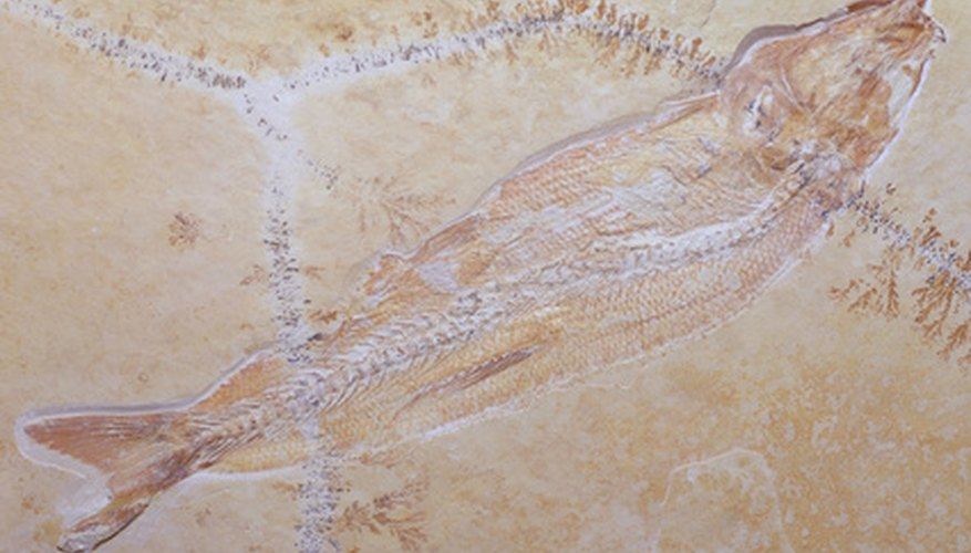 This fish fossil illustrates how fossils usually look when they are discovered and removed from surrounding rock.