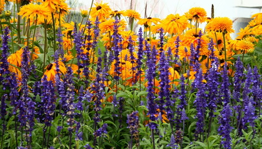 Rudbeckia and lavendar stand tall in the full sun garden.