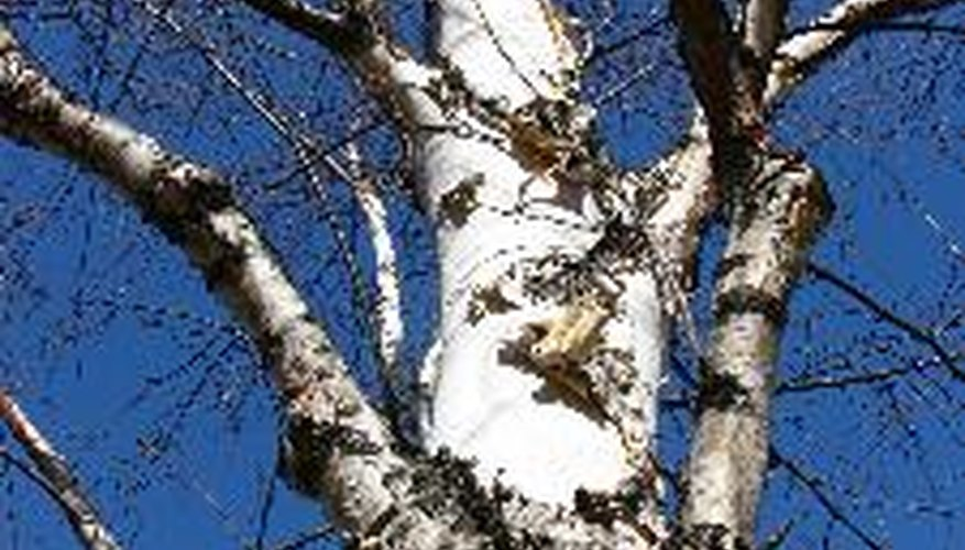 Keep your birch trees pruned to encourage healthy growth.