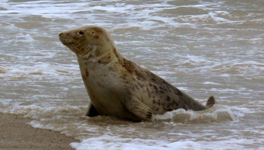 Seals are semi-aquatic mammals making them prey for animals on both land and sea.