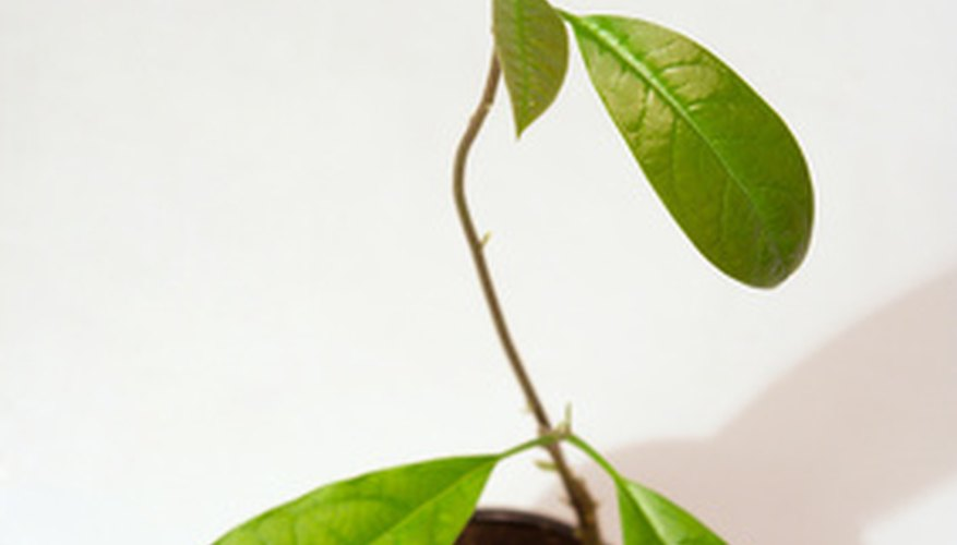 Avocado trees are easy to germinate and grow from seeds.