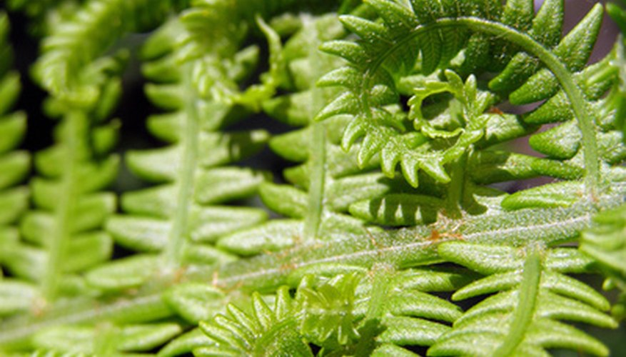A healthy fern rewards you with new, curled fronds.