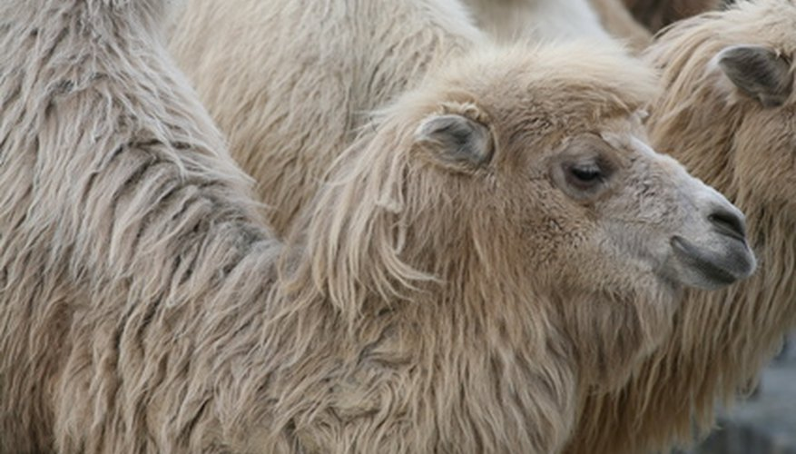 Bactrian camels inhabit Asia's rocky deserts.