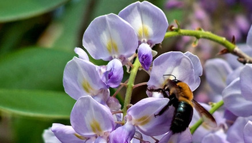 Chinese wisteria attracts bees and other pollinators.