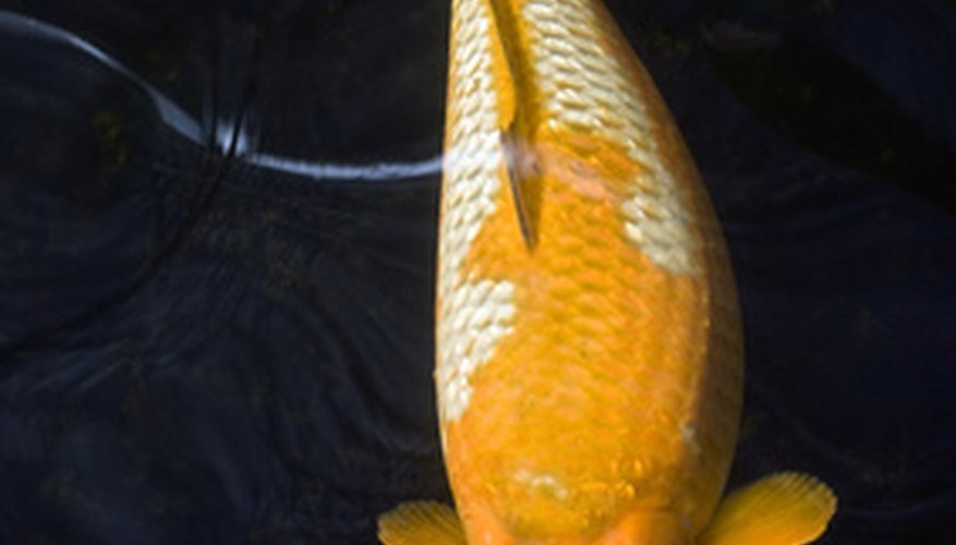 How Do Koi Fish Reproduce in Freshwater Ponds?