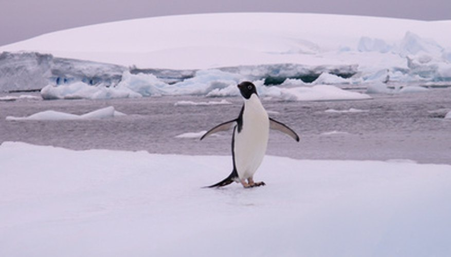 Penguins are among the few species of animals living in Antarctica.
