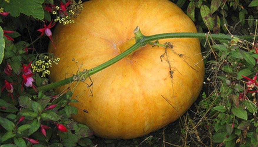 Running a pumpkin patch is labor-intensive but potentially lucrative.
