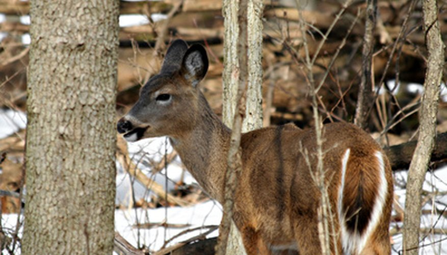 White-tailed deer are large herbivores inhabiting temperate North American woodlands.