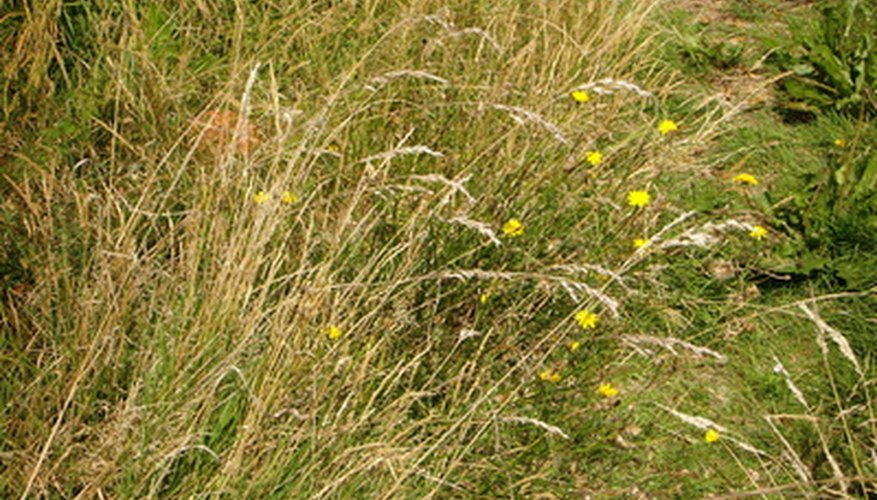 Dry, yellow patches of grass may be a sign of chinch bugs.