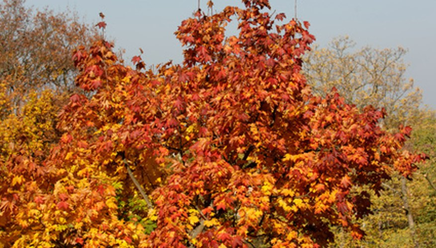 Cool autumn weather and bright sunshine produce vivid leaf color.
