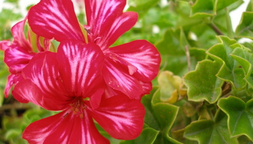 Geraniums contain pollen and nectar that draw honey bees to the garden.