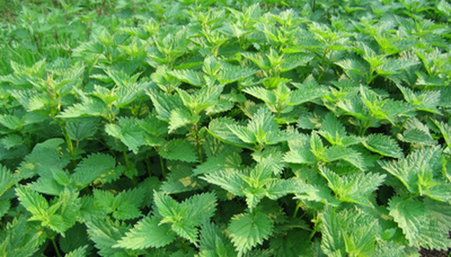 Stinging nettle this thick will be hard to control by mechanical methods.
