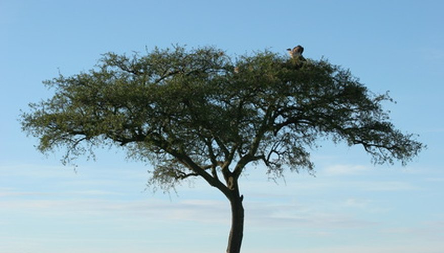 Acacias are a signature tree of Africa.