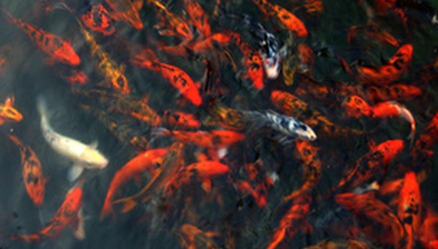 Professional breeders often choose an alternative method for reproduction of koi.