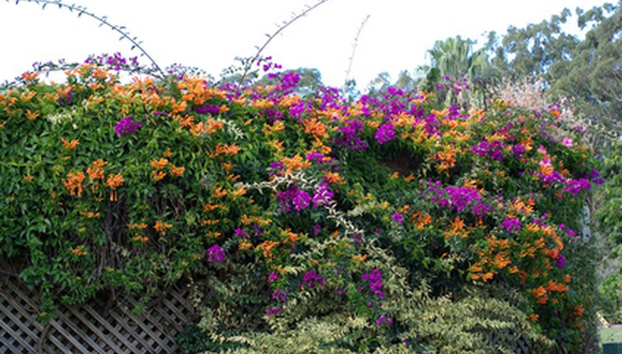 Flowering vines add color and vitality to trellises and other outdoor structures.