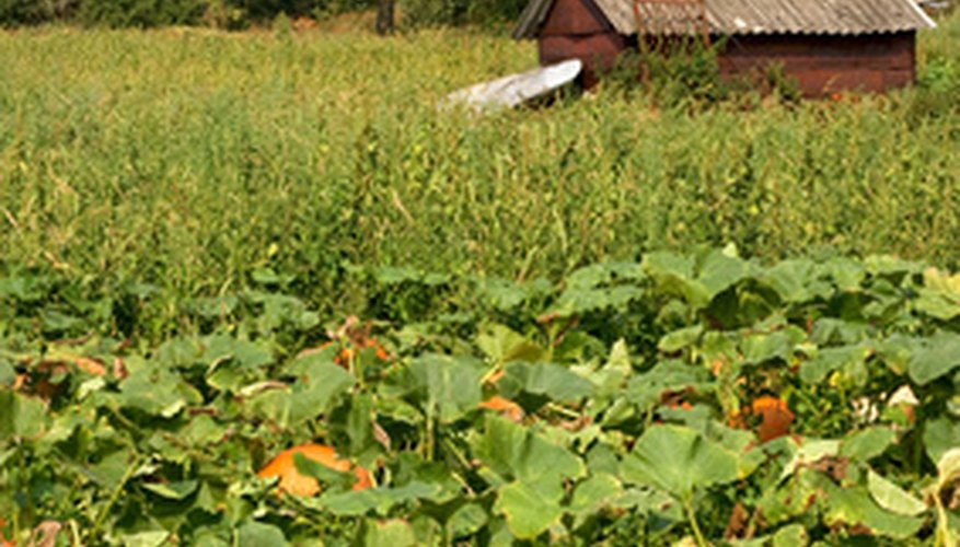 Pumpkins have male and female flowers.