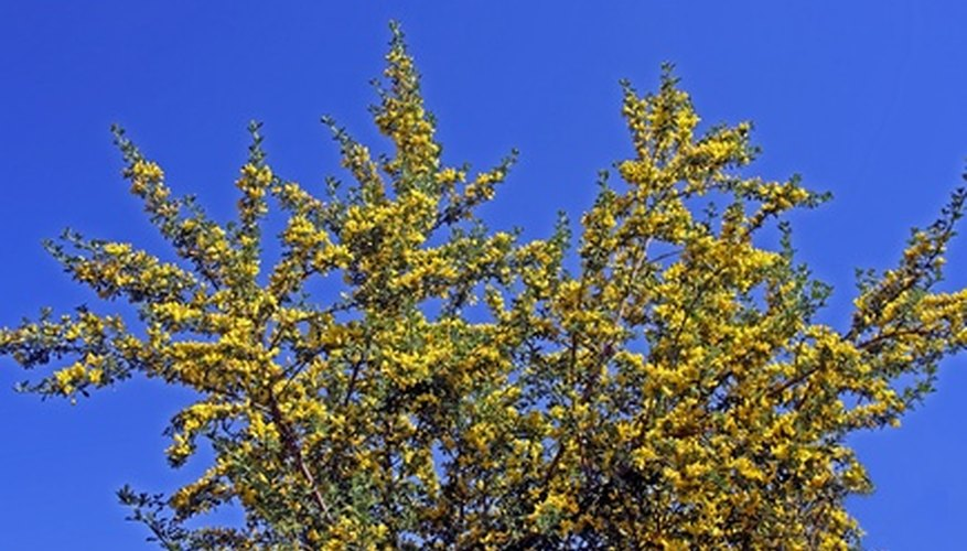 Trees With Yellow Blooms