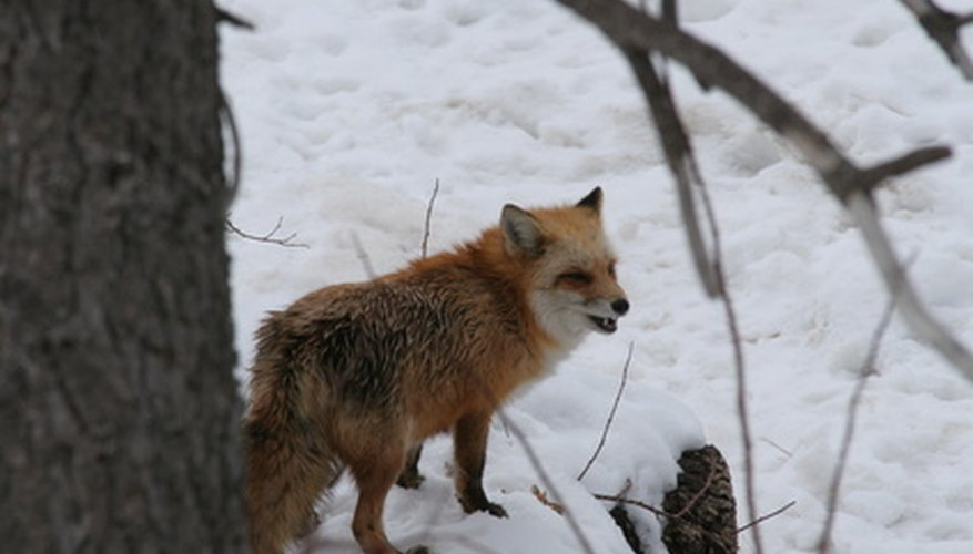 Foxes, although not often seen, are found across North America.