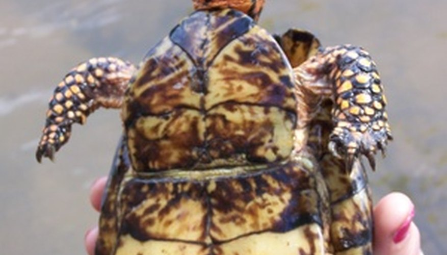 Box turtles have a flexible hinge on the plastron (flat underside of the shell) which is absent in tortoises.