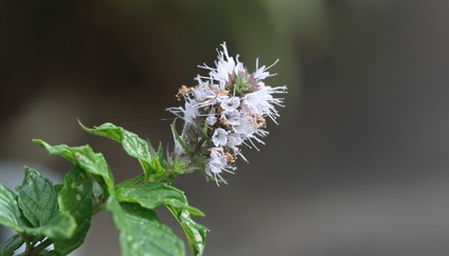 Mint and other flowering herbs attract honey bees and add flavor to their honey.